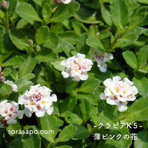 クラピアK5の花の写真