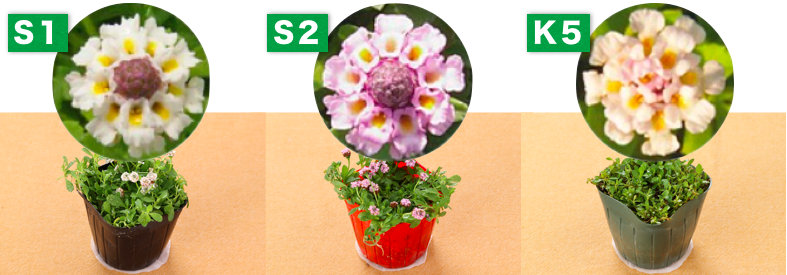 クラピア S1 S2 K5 花の色