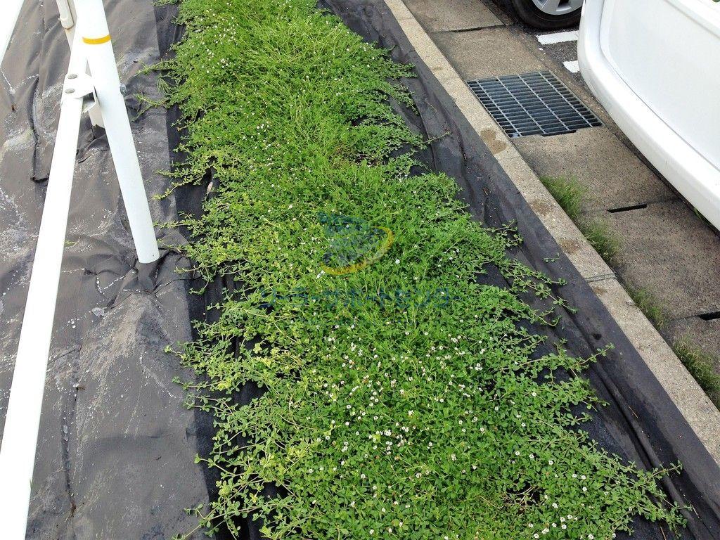 【クラピア】雑草対策、緑化事例・愛知県名古屋市A様