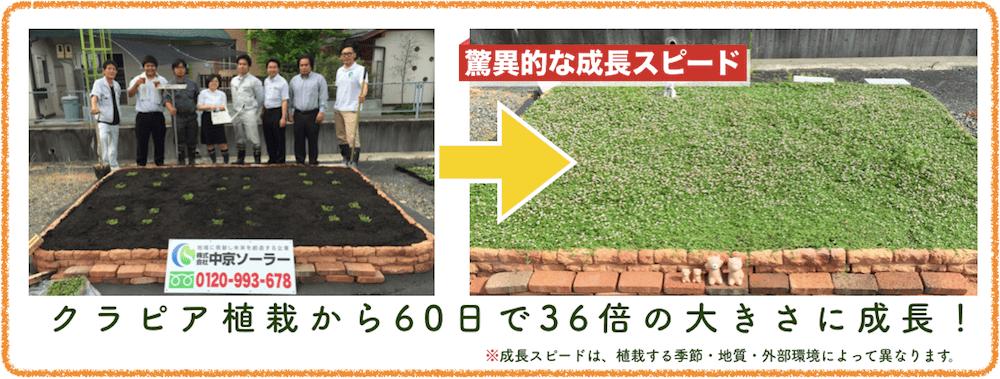 クラピアが60日で36倍の大きさに成長した画像