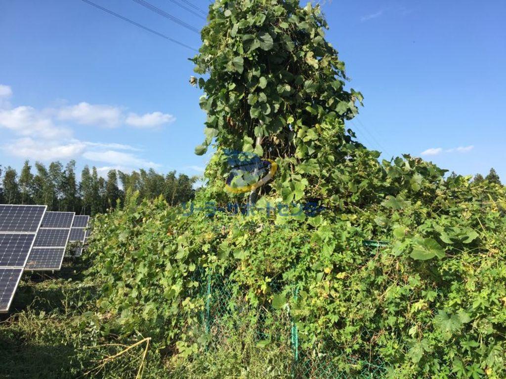 太陽光発電所のフェンスと引込柱に絡みついた蔦