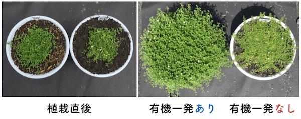 クラピアの画像 肥料の有無の比較