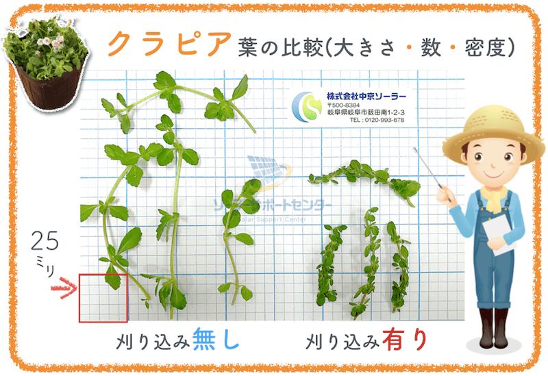 刈り込みの有無によるクラピアの葉の大きさの比較
