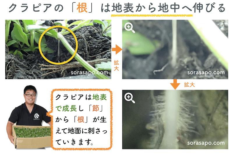 クラピアが土に根をおろす拡大画像