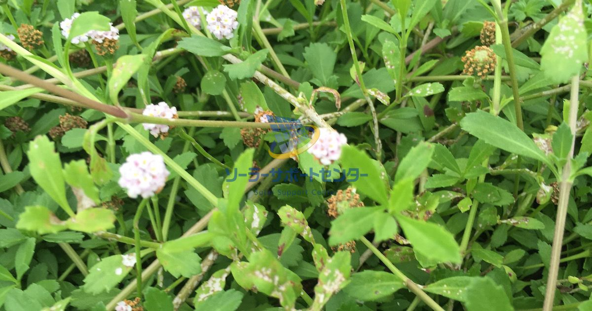茎葉に斑点のできたクラピア