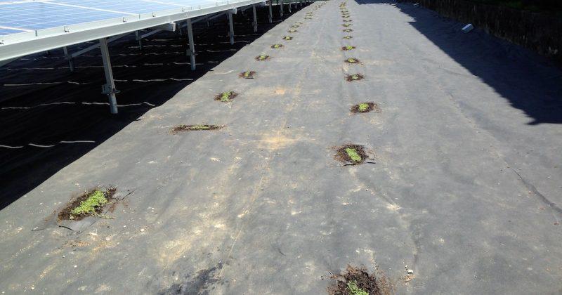 【クラピア】野立て太陽光発電雑草対策事例・愛知県稲沢市G様