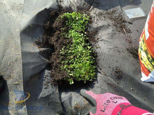 クラピアを植える手順 隙間を培養で埋める