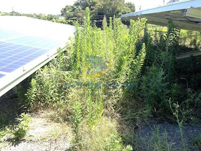 砕石をした太陽光発電所に生える雑草1