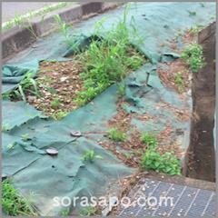 破れた防草シートに繁茂する雑草