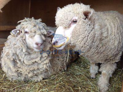 羊による除草