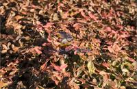 秋のクラピアの紅葉