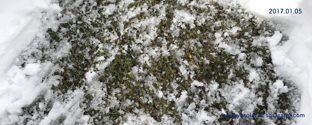 雪に埋もれても元気なクラピア