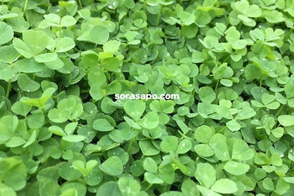 クローバーは緑肥としても役に立つグランドカバープランツ