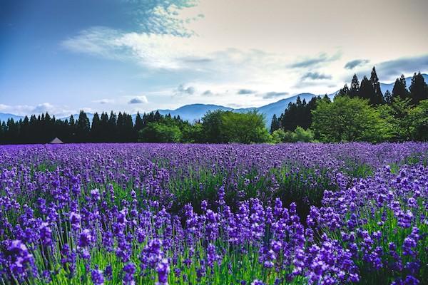 グランドカバープランツ・ラベンダー畑の画像
