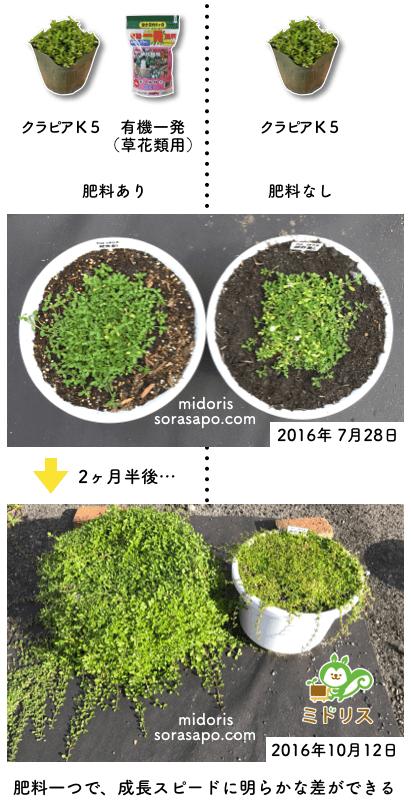クラピアの肥料有無での成長差