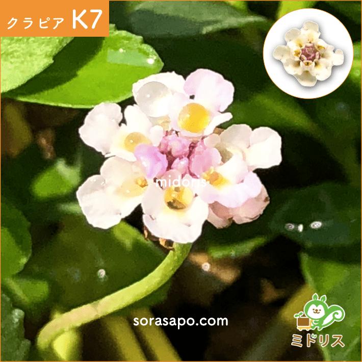 クラピア K7 花の画像 拡大
