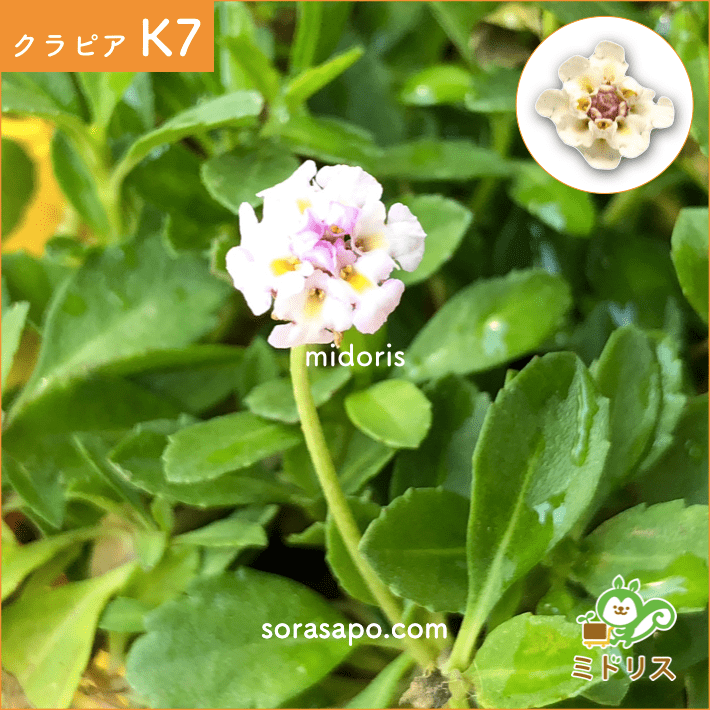 クラピア K7 花の画像