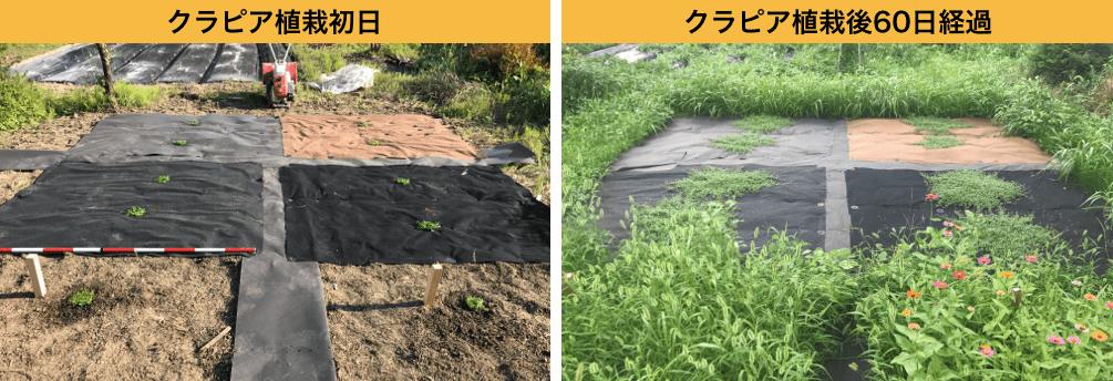 植栽シートを使ったクラピアの成長過程の比較画像