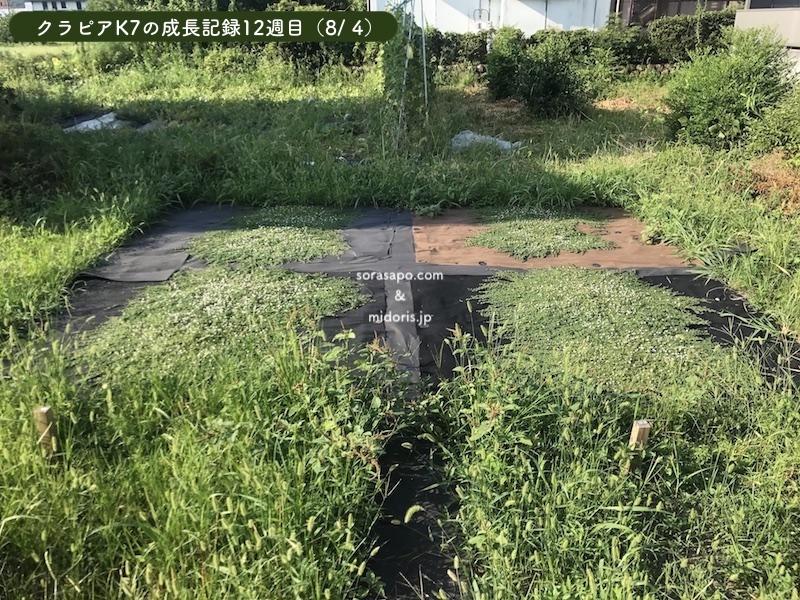 12週目(8/4)クラピアは順調に成長しています。 直植え部分はすぐ雑草が生えて、クラピアが影になってしまうので成長が遅くなってしまいます。