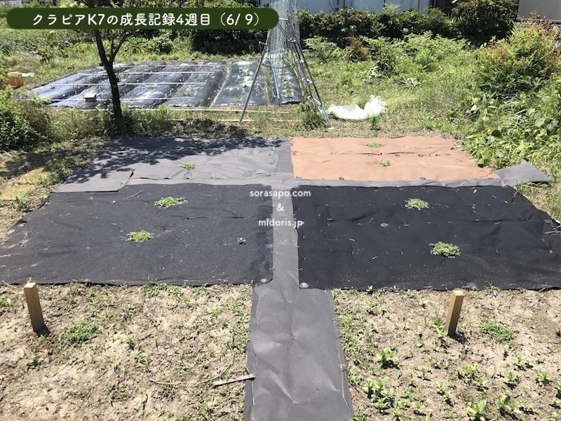 4週目(6/9)直植え部分の雑草がとんでもないスピードで成長しています。 もうクラピアより大きくなっています。 シートを併用したクラピアは順調です。