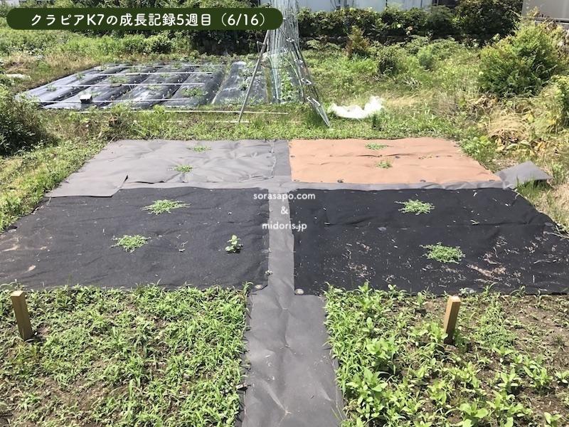 5週目(6/16)直植え部分の雑草がぐんぐん成長しています。 シート併用部分のクラピアは雑草が生えることなく、非常に順調に成長してしまいます。いかにクラピアに有利な環境を作ってあげるかが重要だとわかりますね。