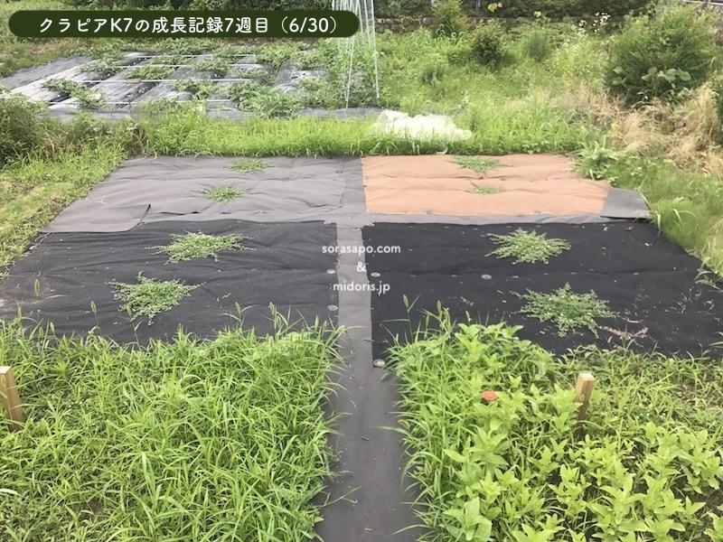 7週目(6/30)シート併用部分のクラピアが一気に成長しました。 梅雨時期でたっぷり水を得て根がぐんぐん伸びているでしょう。 直植え部分は取り返しがつかない状況ですね。