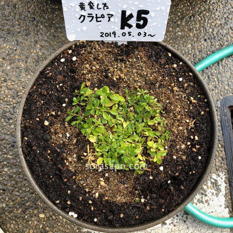 クラピアの葉っぱが黄色から緑に戻る過程【6日目】