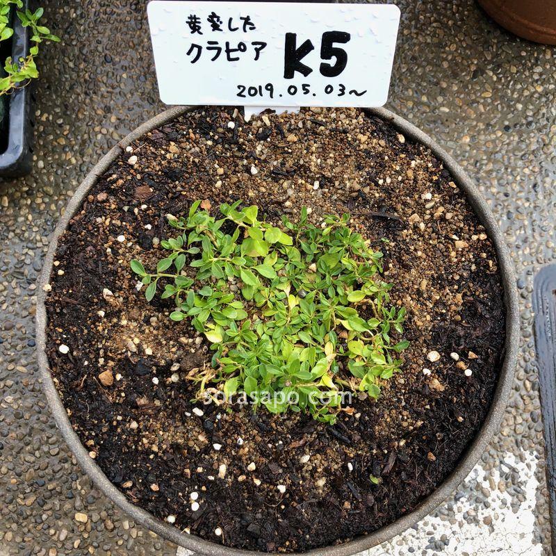 クラピアの葉っぱが黄色から緑に戻る過程【8日目】